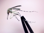 A Cattail mosquito is inspected at the Maine Medical Center Research Institute in South Portland, Maine. Cattail mosquitoes can transmit EEE and West Nile virus to humans.