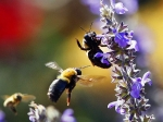Bees collect nectar from the flowers in the Rose Garden of the White House.