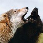 0629wolfsquare.jpg