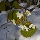 2010_apr29_snow_flowers_2.jpg