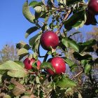 apples_600.jpg