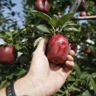 apples_600_3.jpg