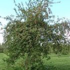 apples_tree_250.jpg