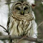 barred_owl_340x255.jpg