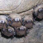 bats_in_cave_ap_photo_alan_hicksscience_ap080130022264.jpg