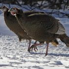 bird_atlas_040313_file_photo_turkeys_toby_ap963238823524.jpg