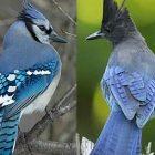 birdnote_bluejay.jpg