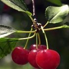cherries_200.jpg