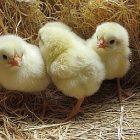 chicks_birdnote.jpg