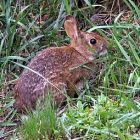 cottontail_340x255.jpg