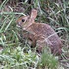 cottontail_600.jpg