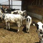 cows_3.jpg