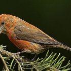 crossbill_birdnote.jpg