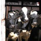 dairy_cows_0312.jpg