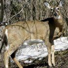deer_used_021712_file_toby_ap080317144386.jpg