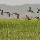 ducks_2.jpg