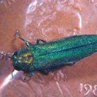 emeraldashborer_sk_051911.jpg