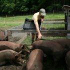 feed_pigs_small_jane.jpg