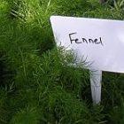 fennel_150.jpg