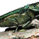 flickr_usdagov_emeraldashborer_2013.jpg