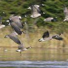 geese_600x450.jpg