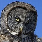 great_grey_owl.jpg