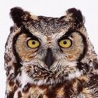 great_horned_owl_guy_lichter.jpg
