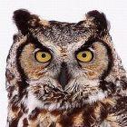 great_horned_owl_guy_lichter.jpg