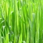 greengrass_150.jpg