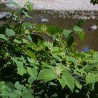 knotweed_leaves_and_flowers2.jpg