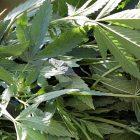 marijuana_600.jpg