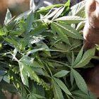 marijuana_ap_photo_elaine_thompson.jpg