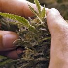 marijuana_plant.jpg