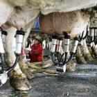 milking_2.jpg