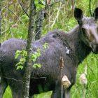 moose_3.jpg