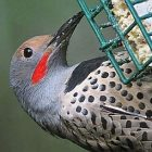 northern_flicker_birdnote.jpg