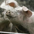 pig_for_slaughterhouse_toby.jpg