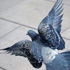 pigeon_ben_mealer.jpg