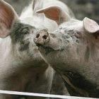 pigs_300.jpg