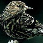 pine_siskin_birdnote.jpg