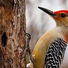 red_bellied_woodpecker.jpg