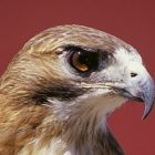 red_tailed_hawl.jpg