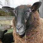 sheep_300.jpg