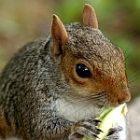 squirrel_150_2.jpg