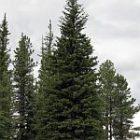 tree_felicia_fonseca.jpg