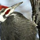 woodpecker_300.jpg